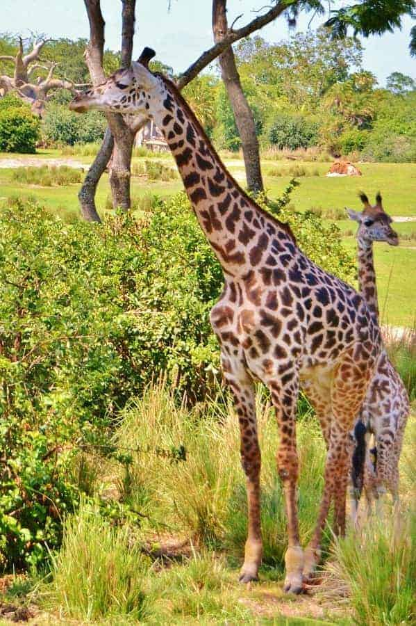 Giraffes in Animal Kingdom