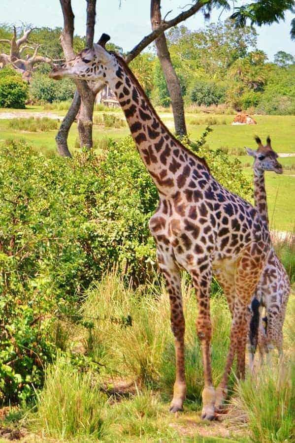 Giraffes in Animal Kingdom
