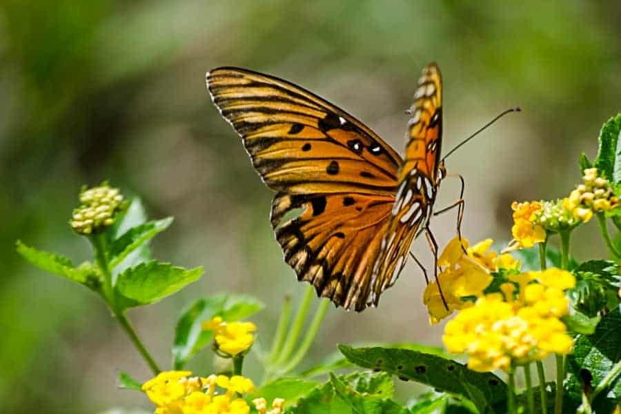 Tips for Attracting Butterflies to Your Garden