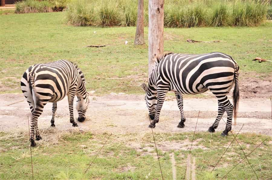 Animal Kingdom Lodge Zebras