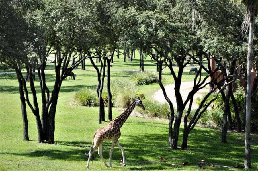 Animal Kingdom Lodge Savannah View Rooms Disney Insider Tips