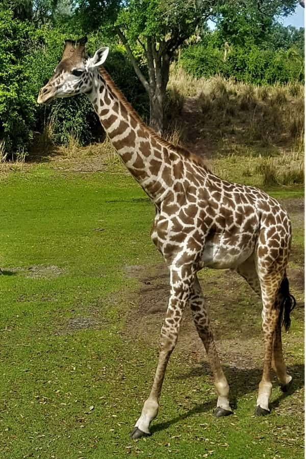 Seeing Giraffes Up Close on Kilimanjaro Safari