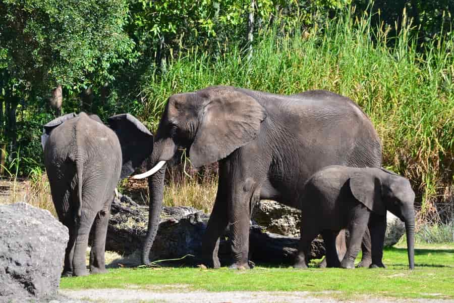 Elephants on Safari in Animal Kingdom