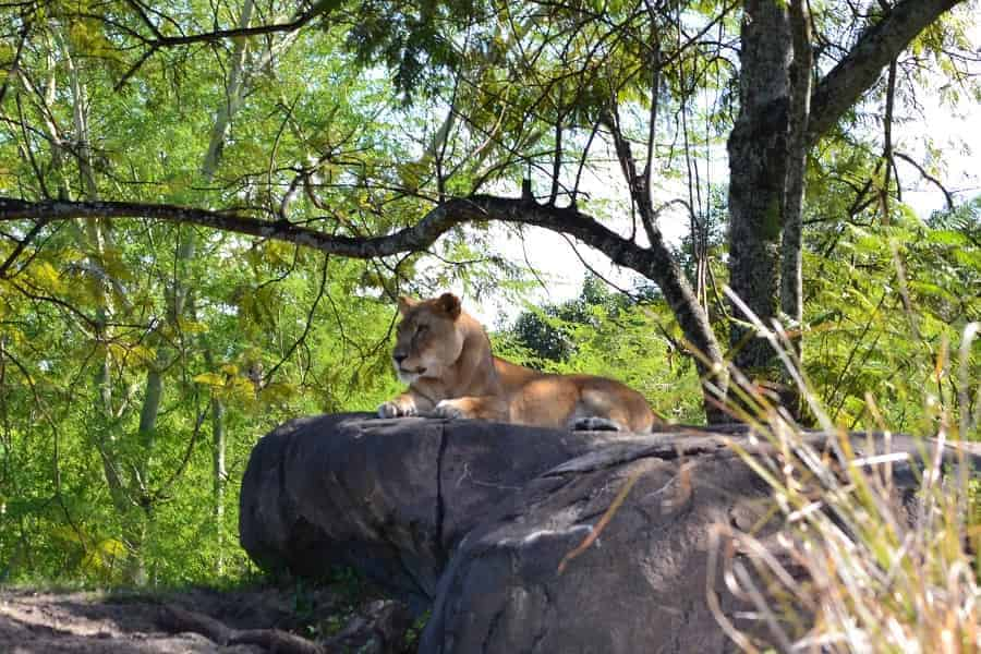 Lioness on Safari at Animal Kingdom