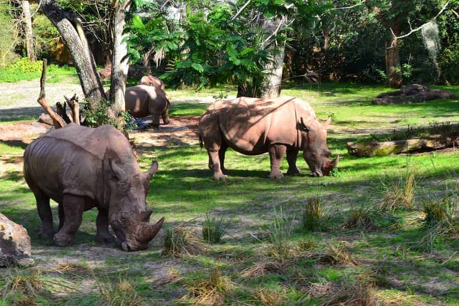 Rhinos in Kilimanjaro Safari